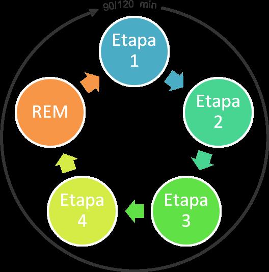 Etapas de un ciclo del sueño